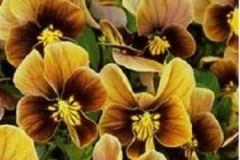 hoa-viola-socola