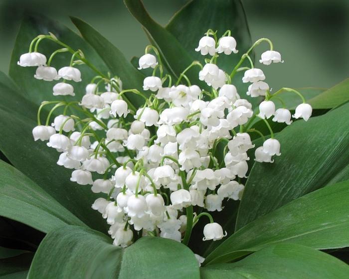 hoa-linh-lan-f1