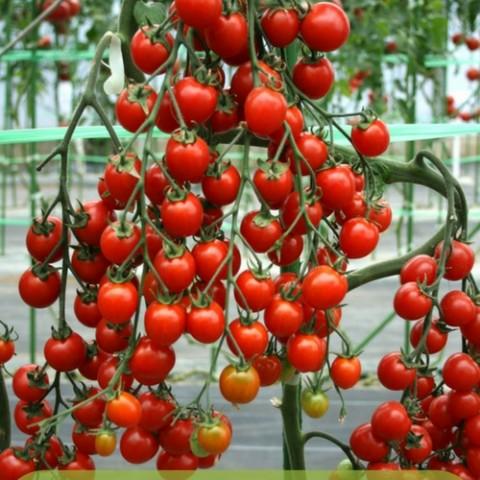khi cây cà chua dâu tây đến mùa thu hoạch