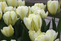 cu-hoa-tulips-trang-kep