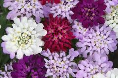 hoa-iberris