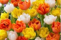 tulip-hon-hop