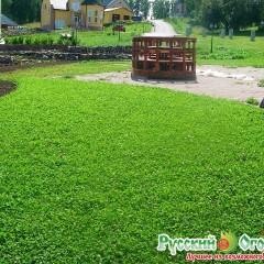 Hổn hợp cỏ 3 lá và sân vườn 30gr