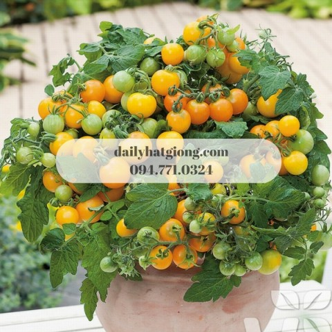 Cà chua bi lùn vàng vừa cho trái vừa dùng để làm kiểng
