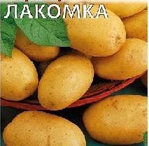 hạt-giong-khoai-tây