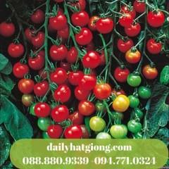 cà chua mini