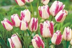 cu-hoa-tulip-3