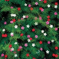 Hoa Tóc Tiên (hoa Sao leo) hỗn hợp nhiều màu