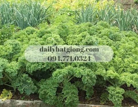 Cây cải xanh Kale đang thu hoạch